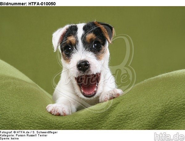 g�hnender Parson Russell Terrier Welpe / yawning PRT puppy / HTFA-010050