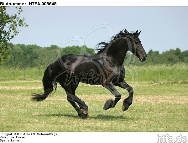 galoppierender Friese / galloping friesian horse / HTFA-008648